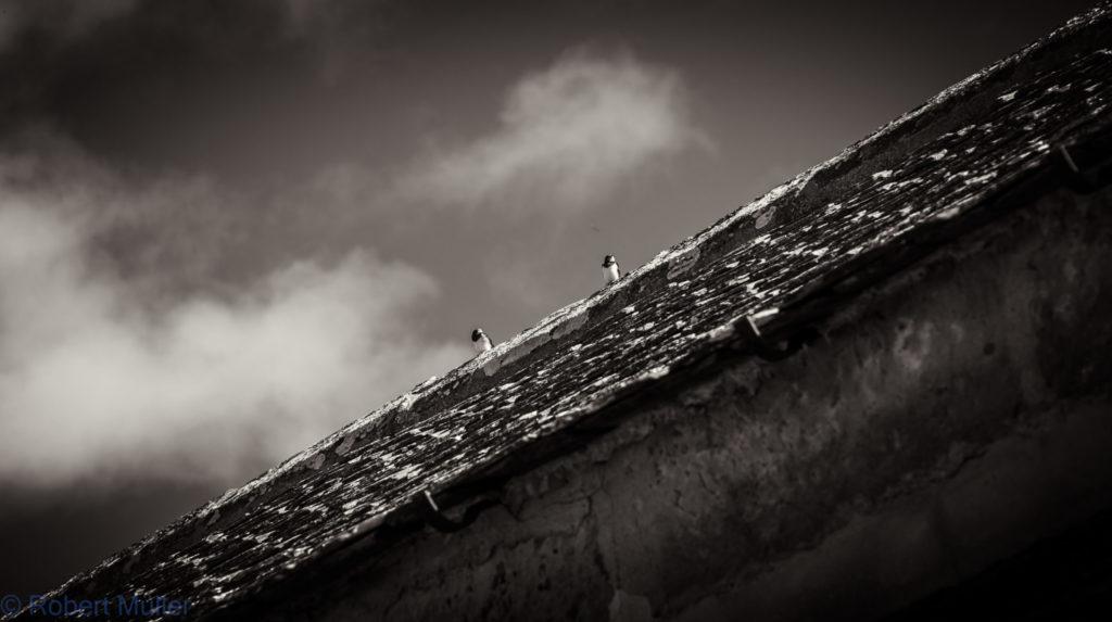 Möven auf dem Dach